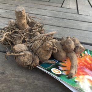 plantera dahliaknölar